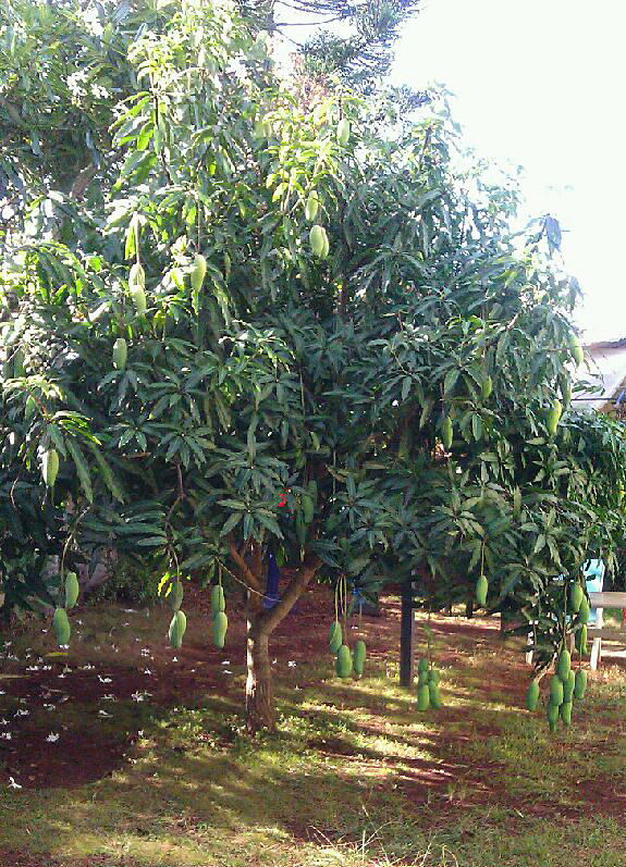 vietnamese mango  u2013 tasty island